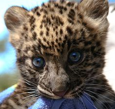 """""""The Amur leopard (Panthera pardus orientalis) is a leopard subspecies native to the Primorye region of southeastern Russia and Jilin Province of northeast China, and is classified as Critically Endangered since 1996 by IUCN. Only 14–20 adults and 5–6 cubs were counted in a census in 2007, with a total of 19–26 Amur leopards extant in the wild. The Amur leopard is also known as the Far Eastern leopard."""" http://en.wikipedia.org/wiki/Amur_leopard"""