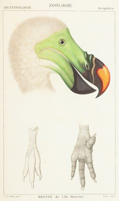 Dodo, 'Atlas de Zoologie : ou Collection de 100 Planches by Paul Gervais (1844)