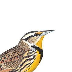 Eastern Meadowlark, male. Painted and © by David Sibley