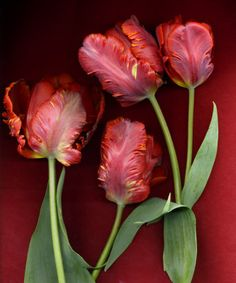 Red Parrot Tulips - for Bridal Bouquet