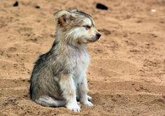 Saarloos Wolfhound...cutest pup ever