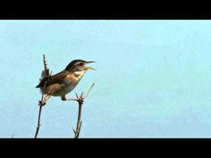 ▶ Tranquil Birdsong, 11 hours - Birds Chirping, nature sounds, natural sound of birds singing - YouTube