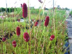 Sanguisorba 'Cangshan Cranberry'