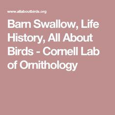 Barn Swallow, Life History, All About Birds - Cornell Lab of Ornithology