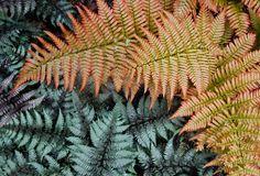 "Japanese painted fern, Athyrium niponicum ""Pictum,"" and the autumn fern, Dryopteris erythrosora ""Brilliance."""