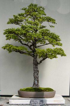 longwood bonsai blog 6 Photos for Our Bonsai Lovers