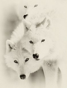 i saw a white wolf running along side me road to whistler ... beauty ... in motion