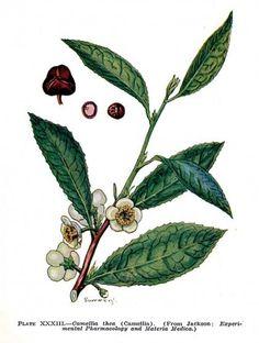 Camellia Sinensis (o