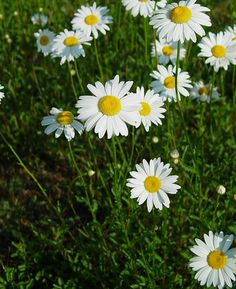 Light:Sun to part shade plants to repel bugs  Pyrethrum Chrysanthemums– Also known as Painted Daisy,Tanacetum ,coccineum ,Asteraceae Family  Synonym: Pyrethrum roseum, Chrysanthemum roseum, Chyrsanthemum coccineumAKA: Mums specifically the ones that look like Daisies!   Sunlight: full sun to part shade These are the be all end all of pests!  According to wiki.answers these cute little flowers repel: Roaches, fleas, ticks, bedbugs, lice, silverfish, ants, and so much more!