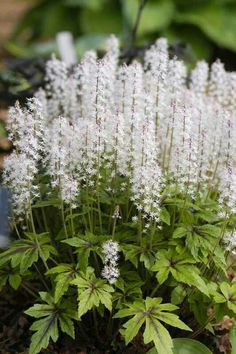 'Iron Butterfly' Tiarella aka foam flower. Part shade to full shade. (Click for lots of info.)