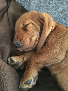 Basset Fauve de Bretagne puppy (9 weeks) sleeping.