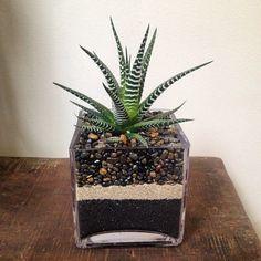 Zebra cactus (Haworthia attenuata) in pebble planter