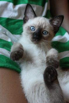 I LOVE siamese cats, this kitten is darling
