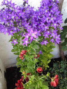 """""""Melkeklokke"""" - Campanula lactiflora """"Prichard´s Variety"""" - Den har fått noen uker på seg nå og er virkelig flott :) - After a few weeks it´s really lovely :) - My own garden 8.7..14 IJ"""