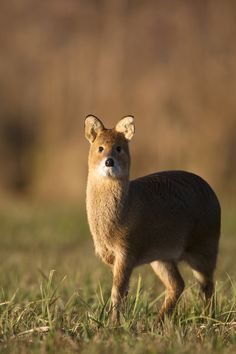 The beautiful Chinese Water Deer - notice its fangs? Animals And Pets, Baby Animals, Cute Animals, Beautiful Creatures, Animals Beautiful, Reptiles, Mammals, Water Deer, Deer Family