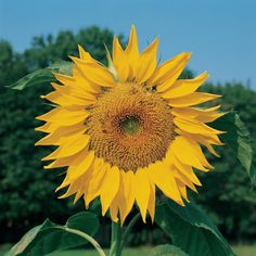 And Small Sunflower Varieties Diffe Sizes