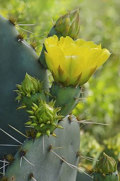 Prickly Pear Cactus (Designated the state plant of Texas in 1995)