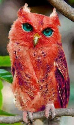 The Madagascar Red Owl is a bird that lives only on the island of Madagascar #animals #wildlifeplanet #wildlife #birds #escape #naturephotography