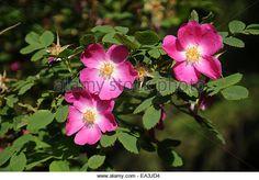 Alpine Rose (rosa Pendulina) Stock Photos & Alpine Rose (rosa ...