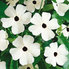 Stora, vita blommor med svart öga. Odlas i spaljé eller liknande. Flerårig slingerväxt som odlas som ettårig sommarblomma eller övervintrande inomhusväxt.