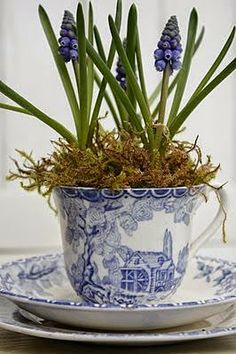 Nancy's Daily Dish: Hyacinths to Feed Thy Soul spring bulbs in tea cup