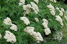Quality Horticultural Images and Plant and Garden Photos Picture Library with over 2 Million Images! Achillea, Garden Photos, Horticulture, Vegetables, Detail, Plants, Pictures, Image, Photos