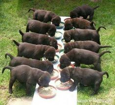 Mind Blowing Facts About Labrador Retrievers And Ideas. Amazing Facts About Labrador Retrievers And Ideas. Perro Labrador Chocolate, Chocolate Lab Puppies, Chocolate Labs, Chocolate Labradors, Labrador Noir, Labrador Retriever Dog, Golden Labrador, Labrador Puppies, Corgi Puppies