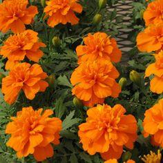 Marigold Seeds: Bonanza Deep Orange Crested French Marigold Seeds - Flower Seeds | Harris Seeds