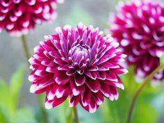 Slik får jeg god vekst og blomstring på dahlia. | SkarpiHagen Slik, Pretty Little, Planters, Rose, Garden, Flowers, Dahlias, Garten, Gardening