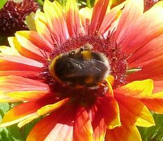 A reminder of summer!  Bee on a gaillardia