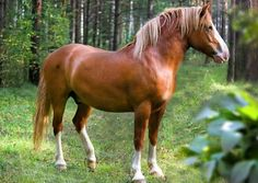 Russian Draft Horse. As refined a heavy draft horse as any, due to Percheron and lighter warmblood influences, this breed is quite new, registered in the Soviet Union in 1952. It is recognizable by its thick mane and tail and massive, gracefully arched neck.