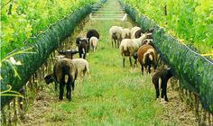Eco-friendly wineries in Sonoma county