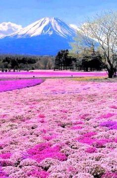 * Mount Fuji and Phlox in bloom ....  Fujinomiya, Shizuoka, Japan