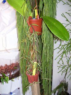 Hoya linearis absolutely gorgeous