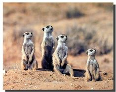Wow! This beautiful wall poster will be a stunning and elegant addition to any space wherever you want to use this. This cutest poster depicts the image of adorable African Meerkats sitting together is sure to make this poster very eye catchy. It will be a great addition for any animal lover. The durable quality with high degree of color accuracy ensures long lasting beauty of this poster.