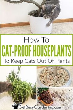 Preserving cats out of houseplants may be frustrating. Try these kinds of safe and easy procedures to stop kitty coming from eating, digging, knocking above, or pooping in plant life. Indoor Gardening Supplies, Container Gardening, Gardening Tips, Planting Vegetables, Growing Vegetables, How To Cat, Growing Flowers, Plant Care, Indoor Plants