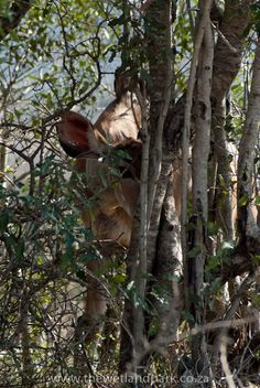 """Peek-a-boo, I see you""   A shy young Kudu at Hluhulwe-Imfolozi Game Reserve"