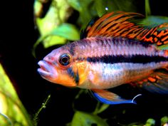 Apistogramma Cacatuoides Triple Red