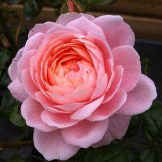 Roses - Rosa Queen of Sweeden
