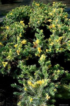 Jalovec šupinatý Floriant (Juniperus squamata) Juniperus Squamata, Plants, Plant, Planets