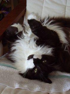 Velcro Cat | Pawshake