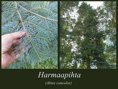 Harmaapihta - puulajipuisto Books, Libros, Book, Book Illustrations, Libri