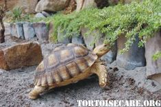 Planting things that overhang along the edges of a habitat are great for providing your tortoise with more to eat, but be careful that they can't use the foliage to climb out. Tortoise House, Tortoise Food, Tortoise Habitat, Tortoise Table, Turtle Habitat, Baby Tortoise, Sulcata Tortoise, Giant Tortoise, Turtle Enclosure