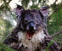 """Drop Bear"" - an Australian horror legend, a beast, similar to a Koala Bear that will drop on you from the trees and tear you to pieces! Koala Bears in real life do have very sharp claws so you must be careful, but aren't deadly like the ""Drop Bear"" Drop Bear, Funny Animal Pictures, Funny Animals, Cool Pictures, Cute Animals, Animal Pics, Scary Photos, Angry Animals, Thor Y Loki"