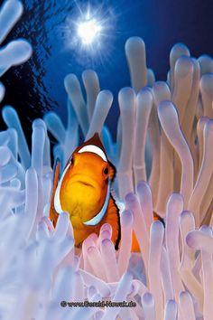 My absolute favorite fish in my salt water aquariums. clownfish in an anemone by GERALD NOWAK Saltwater Aquarium Beginner, Saltwater Fish Tanks, Saltwater Fishing, Salt Water Fish, Salt And Water, Reef Aquarium, Beautiful Fish, Colorful Fish, Ocean Life