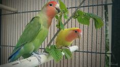 Miu(right) & Haru (left) German: Unzertrennliche Agapornide Rosenköpfchen (Agapornis Agapornis roseicollis) Since 15 years I am proud bird mama! I love birds above all! They are great and wonderful creatures! One day I would like to work with such animals together and help them! --- #happybirds #bird #vogel #parrot #papagei #parrotsofinstagram #agapornide #rosenköpfchen #agapornis #lovebirds #love #animal #nature #german #green #red #yellow #blue #orange #photooftheday #photography…