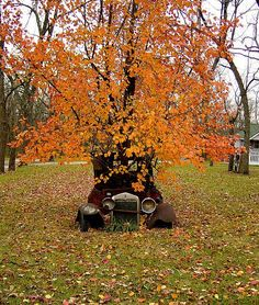 autumn tree growing out of an old car!