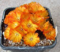 sulcorebutia tarabucoensis aureiflora
