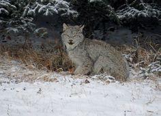 Alberta Lynx Canada (Lynx canadensis)