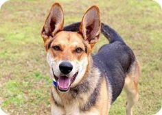 Hagerstown, MD - German Shepherd Dog Mix. Meet OSCAR, a dog for adoption. http://www.adoptapet.com/pet/17832771-hagerstown-maryland-german-shepherd-dog-mix